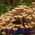 грибы опята